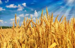 河南省安阳县:30万亩小麦增收4000万元