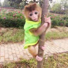 哪里有买的到袖珍石猴的