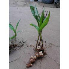 白芨种子_白芨种植-白芨种植基地-白芨种子-白芨种苗