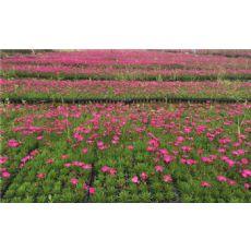 陕西宿根花卉_好的宿根花卉青州市晟唐花卉供应