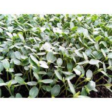 辽宁苦瓜种苗_购买苦瓜种苗就选德瑞康蔬菜种苗