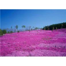 河北欧石竹供货商-口碑好的欧石竹就在玉江花卉苗木