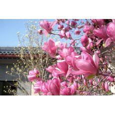 花卉租摆-潍坊花卉租摆找双宇花卉苗木