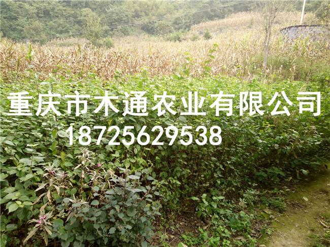 批發翡翠豆腐苗_觀音豆腐樹苗多少錢新聞