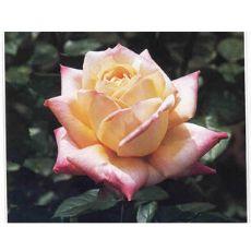 南阳树状月季,最超值的月季花卉首选南阳吉华月季园