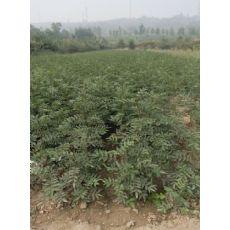 种植了就知道陕西韩城花椒苗花椒树苗