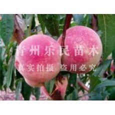 (河南/安徽/山西/河北/山东/陕西/江苏/湖北)金秋红蜜桃种植基地-乐民