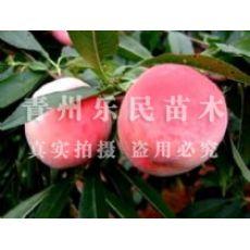 山东永莲蜜桃【山西】【陕西】【河北】【江苏】永莲蜜桃种植基地
