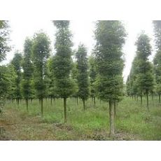 四川品种好的金丝楠木供应——甘肃小叶桢楠