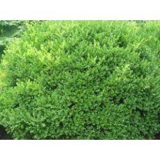 批发瓜子黄杨:想要易种植的绿化苗木就来聚宝花卉苗木