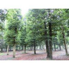 清远楠木|想要无病虫害的四川成都小叶桢楠就来四川万鼎园林