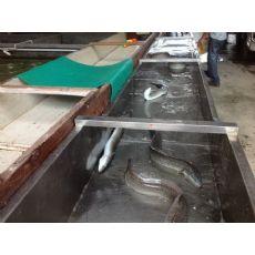 大量供应锦兴花鳗,优质的福建锦兴花鳗