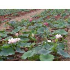 田园情花卉出售优质荷花苗 优质盆栽荷花