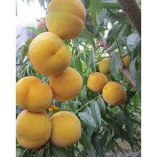 【请问】黄金蜜桃种植基地哪里有?黄金蜜桃批发价格我知道!!