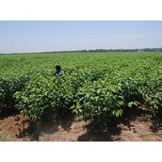 大樱桃苗批发价格:成活率高的大樱桃苗出售