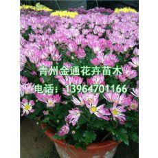 专业的国庆菊供应商就在潍坊|国庆大菊花租宝价格