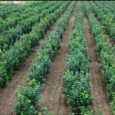 榛子树多少钱|在哪能买到品种纯的大果榛子苗