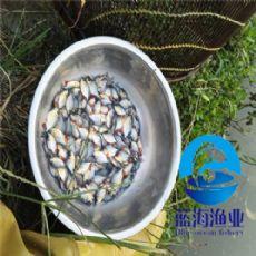 哪有淡水白鲳鱼苗价格 有淡水白鲳鱼苗 有淡水白鲳鱼苗价格
