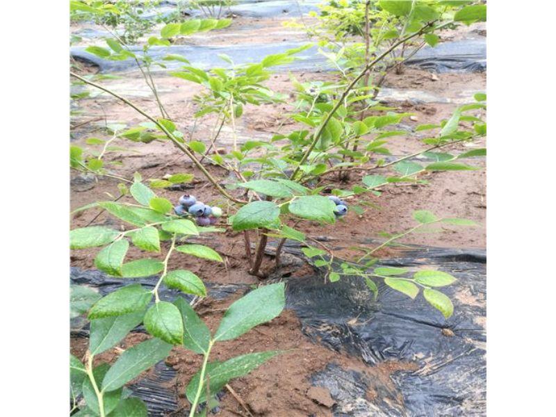 蓝光蓝莓苗新优品种莱克西蓝莓苗