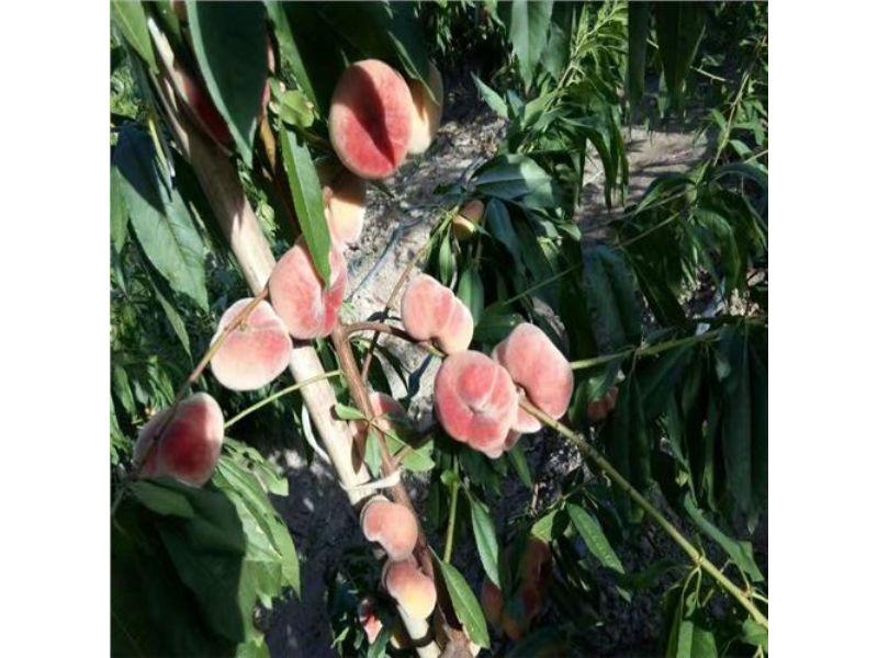 便宜优质的10公分桃树苗