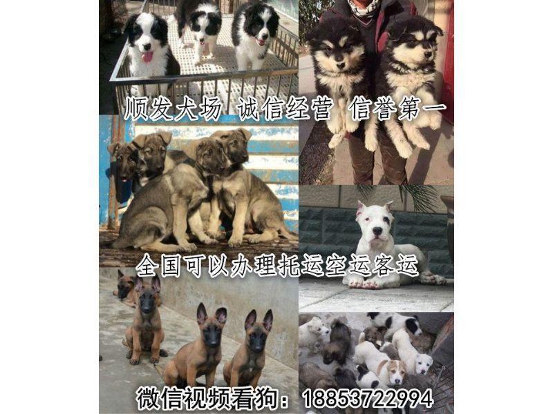梁河县本地卖狗的