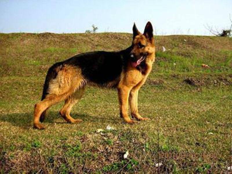 三亚市德国牧羊犬多少钱一条