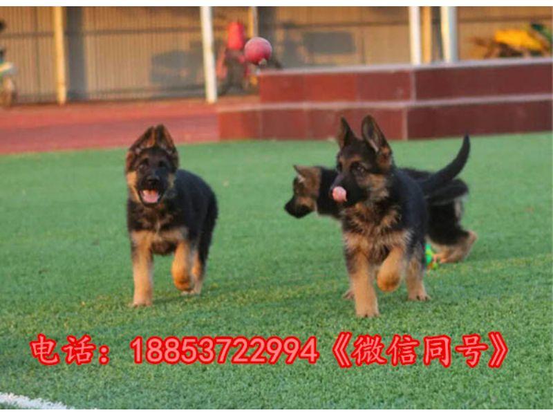 江苏徐州新沂市本地卖狗的