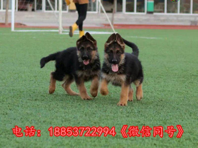 浙江温州龙湾区本地卖狗的
